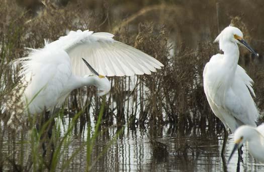 egrets-5-23-2008_052308_7930.jpg