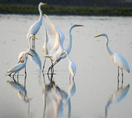 egrets-at-primehook-8172009_5871