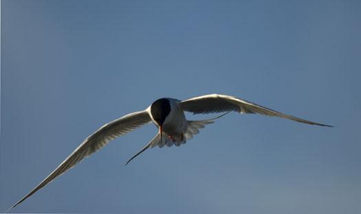 egrets-fishing-4-16-2009_041609_7097