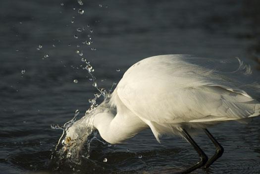 egrets-fishing-4-16-2009_041609_7136