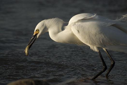 egrets-fishing-4-16-2009_041609_7139