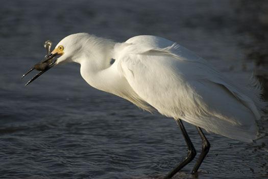 egrets-fishing-4-16-2009_041609_71443