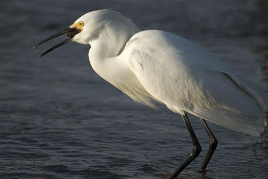 egrets-fishing-4-16-2009_041609_7147