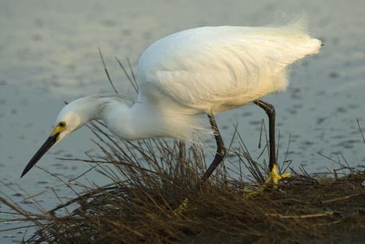 egrets-fishing-6-1-2008_060108_1778.jpg