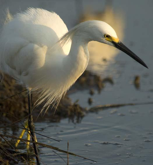 egrets-fishing-6-1-2008_060108_18122.jpg