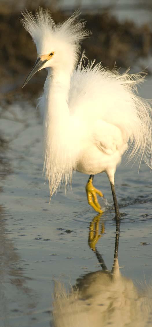 egrets-fishing-6-1-2008_060108_1825.jpg
