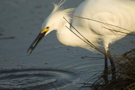 egrets-fishing-6-1-2008_060108_1888.jpg