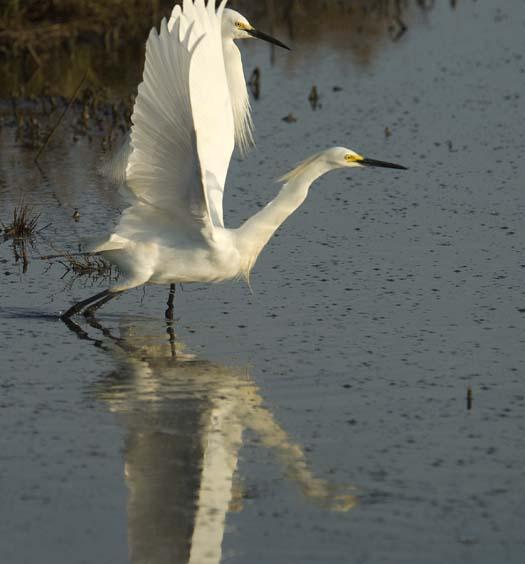 egrets-fishing-6-1-2008_060108_2034.jpg