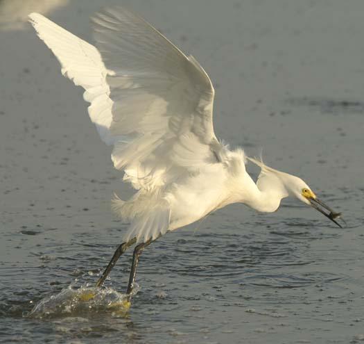 egrets-fishing-6-1-2008_060108_2039.jpg
