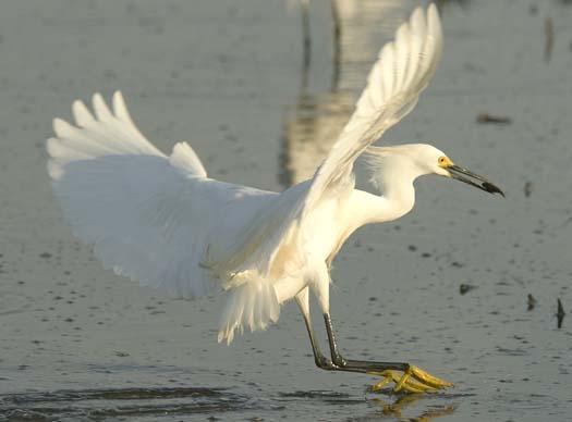 egrets-fishing-6-1-2008_060108_2041.jpg
