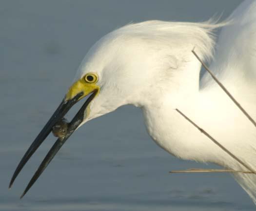 egrets-fishing2-6-1-2008_060108_2173.jpg
