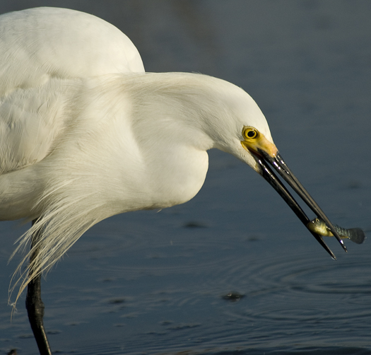 egrets-fishing2-6-1-2008_060108_2202.jpg