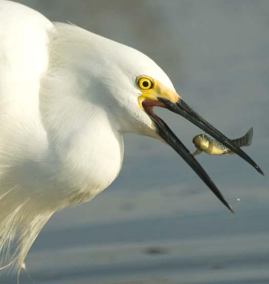 egrets-fishing2-6-1-2008_060108_2206.jpg