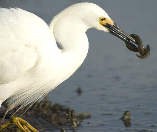 egrets-fishing2-6-1-2008_060108_2262.jpg