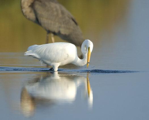 egrets-herons-9-30-2008_093008_9812.jpg
