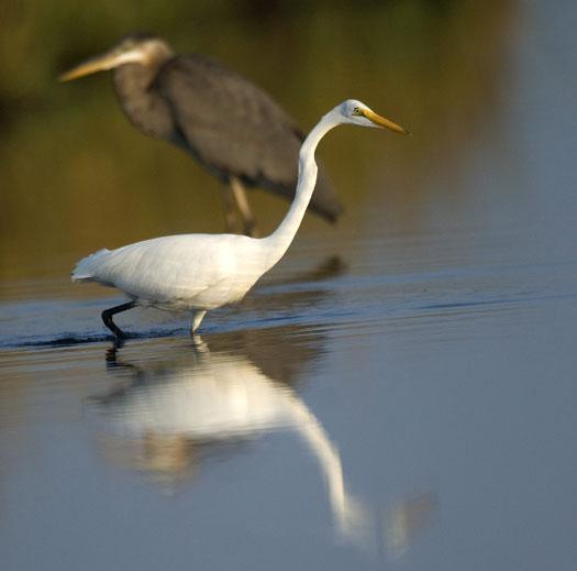 egrets-herons-9-30-2008_093008_9844.jpg