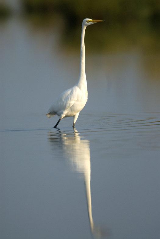 egrets-herons-9-30-2008_093008_9869.jpg