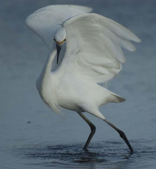 egrets_2-4-14-2008_041408_3488.jpg