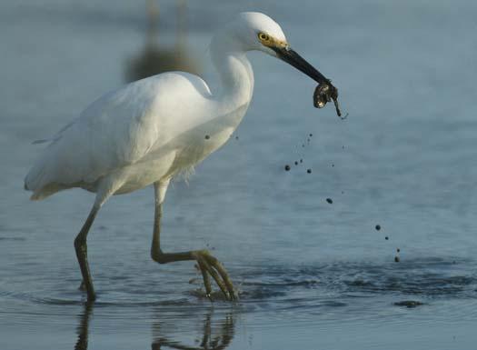 egrets_2-4-14-2008_041408_3515.jpg
