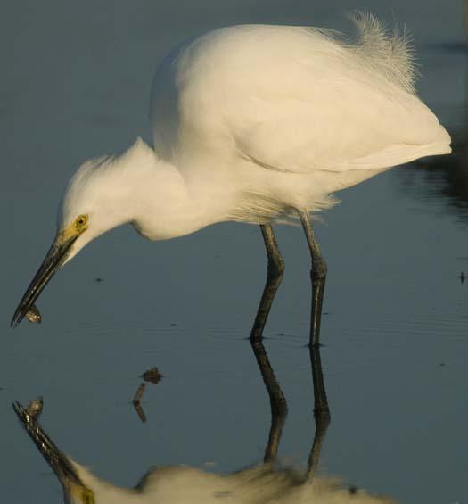 egrets_4-4-14-2008_041408_3981.jpg