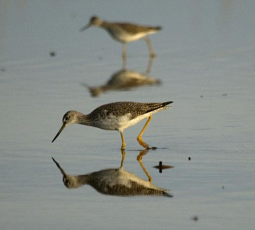 enter-custom-name-herefirst-yellow-legs-3-11-2009_031109_4918
