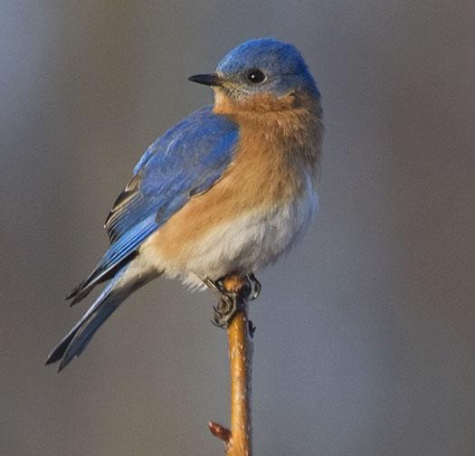 Bluebirds Roosting