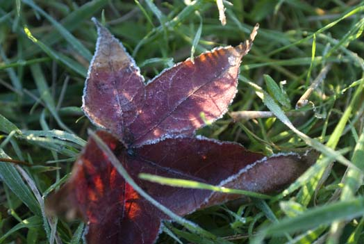 frosty-leaves-and-heron-11-11-2007_1469copy1.jpg