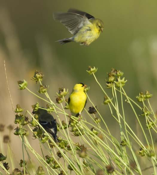 gold-finches-6-18-2008_061808_3882.jpg