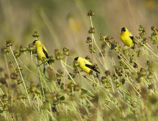 gold-finches-6-18-2008_061808_3906.jpg