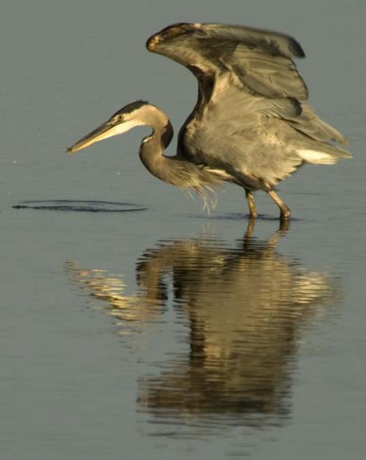 great-sunrise-broadkill-s-geese-heron-11-30-2007_2634copy1.jpg