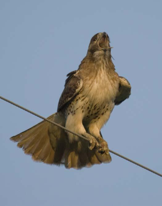 hawk-with-mouse-4-29-2008_042908_5494.jpg