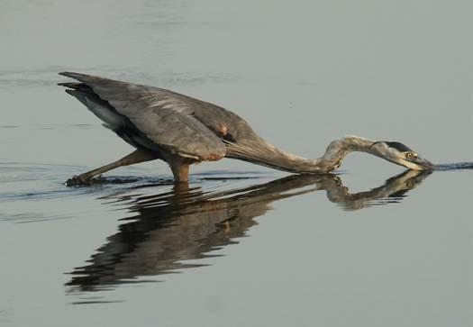 heron-egrets-8-16-2008_081608_81881.jpg