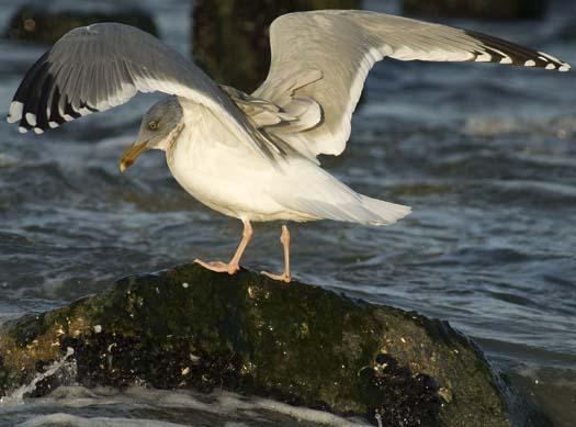 herring-gull-3-2-2008_9196.jpg