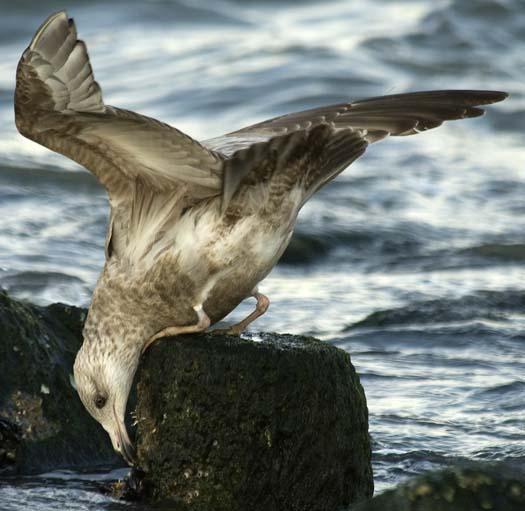 herring-gull-3-2-2008_9372.jpg