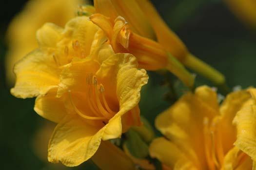lillies-006copy1.jpg