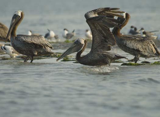 pelicans-egrets-7-18-2008_071808_7398.jpg