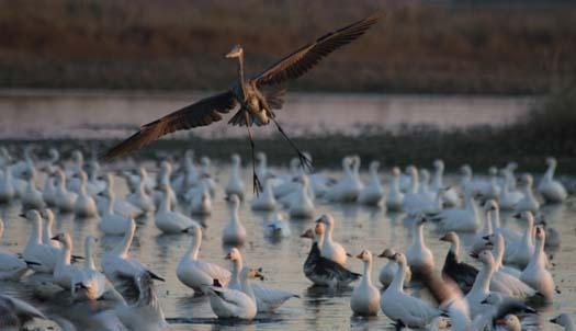 primehook-snow-geese-sunrise-10-30-2007_0606copy2.jpg