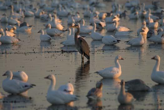 primehook-snow-geese-sunrise-10-30-2007_0624copy1.jpg
