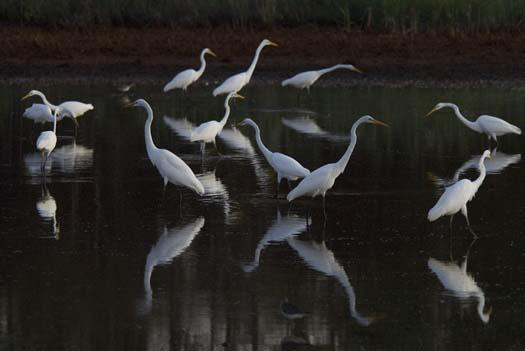 rabbit-heron-egrets-august_083108_8534.jpg