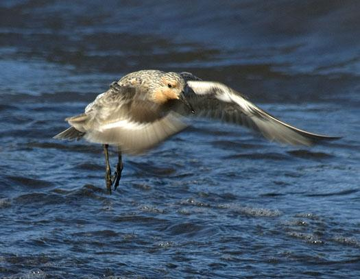 red-knots-etc-5-21-2009_052109_9791