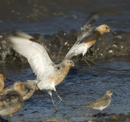 red-knots-etc-5-21-2009_052109_9815