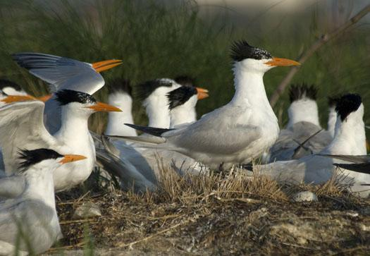 royal-tern-colony-6-12-09_061209_0975