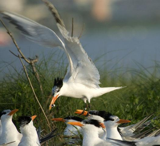 royal-terns-6-14-2009_061409_1635