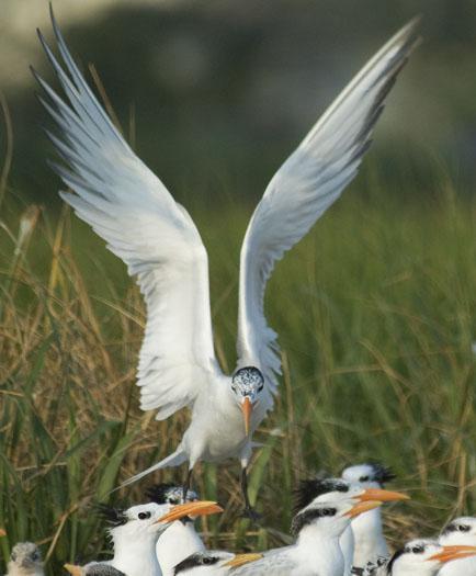 royal-terns-7-12-2009_071209_4908