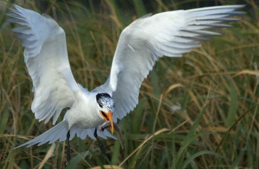 royal-terns-7-12-2009_071209_4925