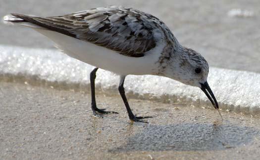 sanderling-8-10-2008_0955.jpg