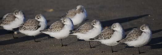 sanderlings-3-3-2008_9460copy1.jpg
