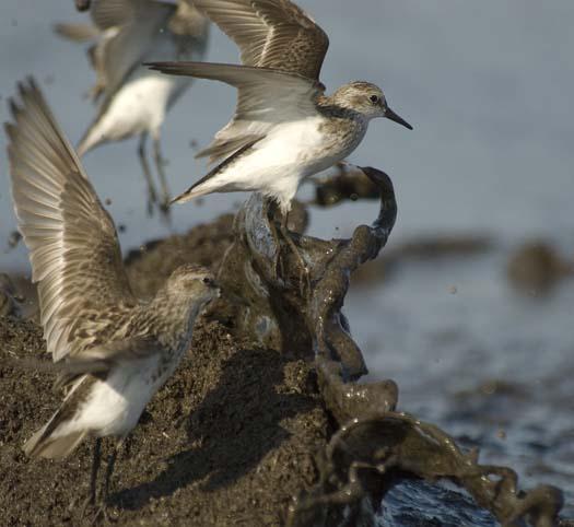 shorebirds-5-30-2008_053008_0892.jpg