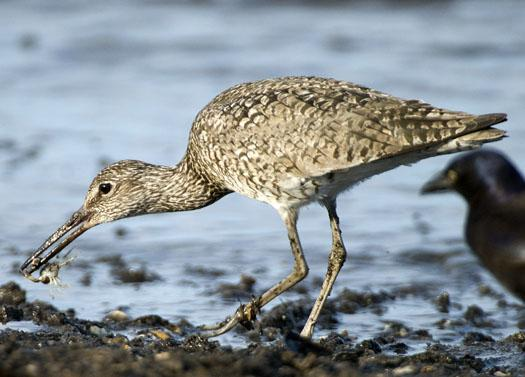 shorebirds-bch-heather-sunset-5-22-2009_052209_02241