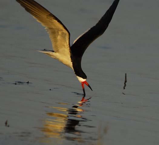 skimmers-egrets-6-29-2008_062908_4555.jpg